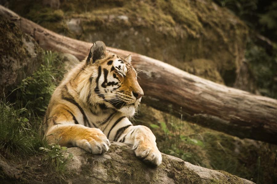 Namn:  lejon.jpg Visningar: 333 Storlek:  419.7 KB